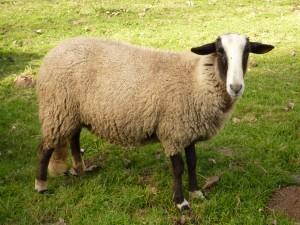 mouton bizet