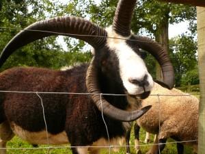mouton jacob